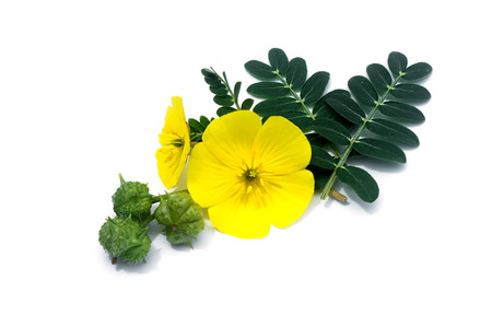 The yellow flower of devil's thorn (Tribulus terrestris plant) with leaf and seeds on white background.