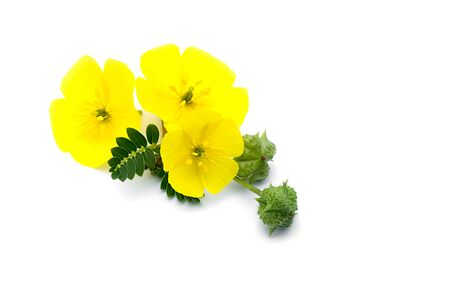 The yellow flower of devils thorn (Tribulus terrestris plant) with leaf and seeds on white background. Stock Photo