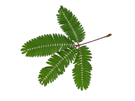 Sensitive plant on white background. (mimosa pudica plant)