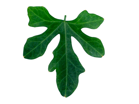 Green ivy leaf isolate on white background with clipping path.