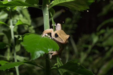 brown tree frog (Hylarana erythraea) on a branch in the dark background with dust light.