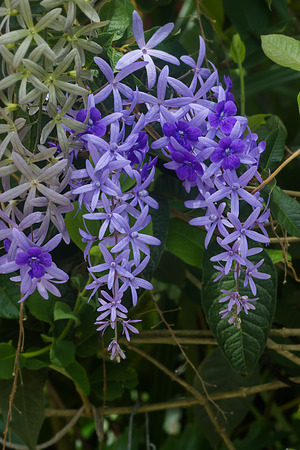 petrea: Violet Petrea Flowers on tree.