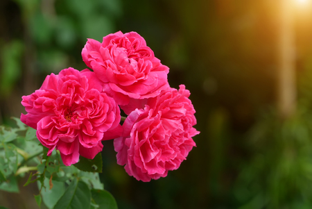 Dark pink of Damask Rose flower with sunlight. (Rosa damascena) Stock Photo