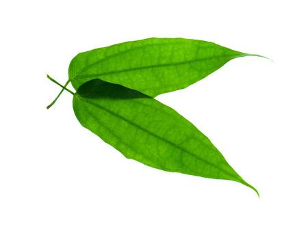 Laurel clockvine leaf on white background. (Thunbergia laurifolia Lindl)