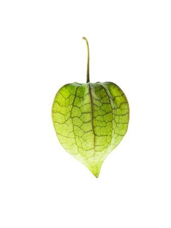 Hogweed or Ground Cherry on white background. (Physalis minima)