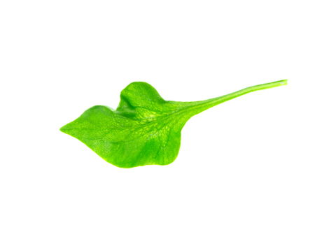 watercress leaf on white background. (Nasturtium officinale)