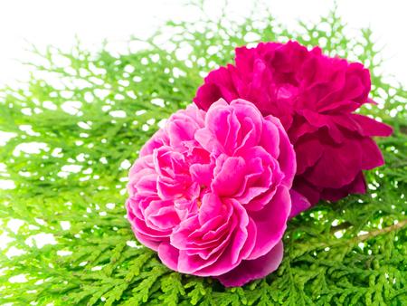 Petali di rosa damascena per tè alla rosa con foglia di pino. (Rosa damascena Mill) Archivio Fotografico - 90962948