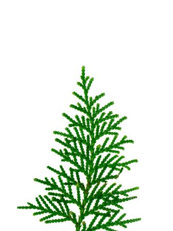 Green leaf of Chimese Arborvitae or Orientali Arborvitae tree. (Thuja orientalis Endl) Zdjęcie Seryjne - 90963060