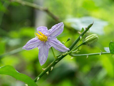 Close up of Brinjal flower. (Solanum indicum)