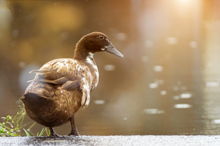 Khaki Campbell duck (Anas platyrhynchos) on the ground with light.
