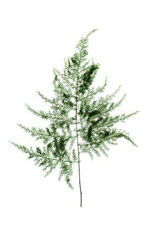 Murraya siamensis Craib plant on white background Stock Photo