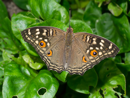 Brown butterfly on flower grass. (Peacock pansy - Junonia almana)