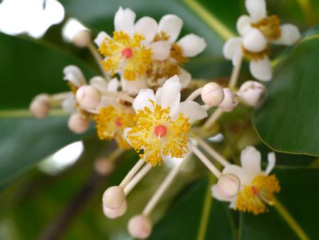 Alexandrian Laurel flower. (Calophyllum inophyllum)