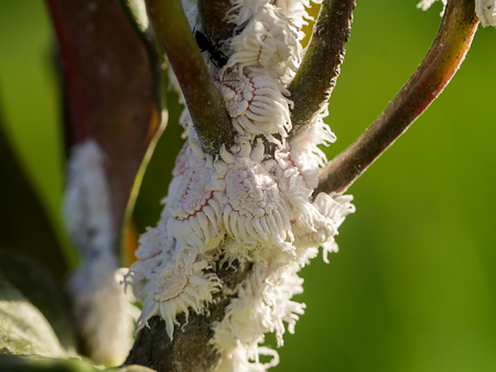 Mealy bug on branch. (Pseudococcus)