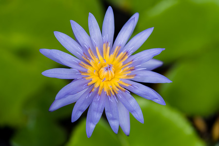 Beautiful waterlily Hybrid flower with blur leaves background. (Nymphaca nouchali Burm.f.)