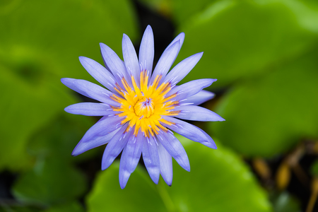 Beautiful blue waterlily Hybrid flower with blur leaves background. (Nymphaca nouchali Burm.f.) Stock Photo