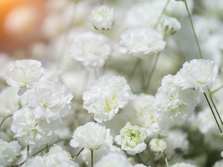 Close up of white gypsophila flower in the wedding day with sunlight. (Gypsophila paniculata)