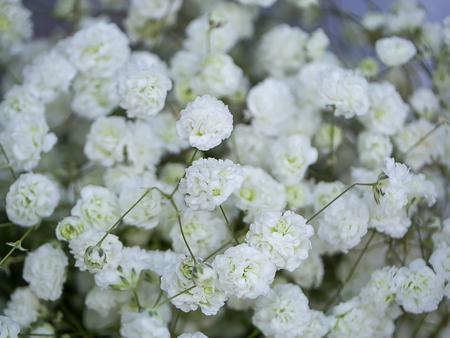 Close up of white gypsophila flower in the wedding day. (Gypsophila paniculata)