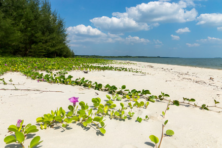Green Goats Foot Creeper plant (Ipomoea pes-caprae) on the beach with Blue sky at Andaman sea. Stock Photo