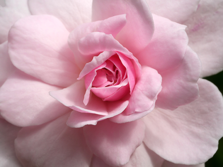 Close up pink of Damask Rose flower. (Rosa damascena)