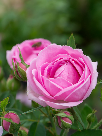Pink of Damask Rose flower. (Rosa damascena)