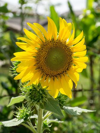 Close up a sunflower in the garden.