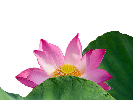 Close up pink lotus flower with leaves isolate on white background close up pink lotus flower with leaves isolate on white background with clipping path mightylinksfo