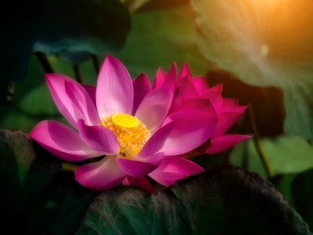 Close up pink lotus flower in the dark leaves with sunlight. (Nelumbo nucifera) Foto de archivo