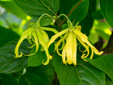Close up of Dwarf Ylang-Ylang flower with leaves. (Cananga fruticosa)