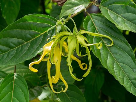 Close up of Dwarf Ylang-Ylang flower with leaves. (Cananga fruticosa)