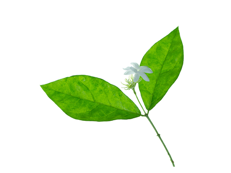 Close up of jasmine flower with leaf on white background.