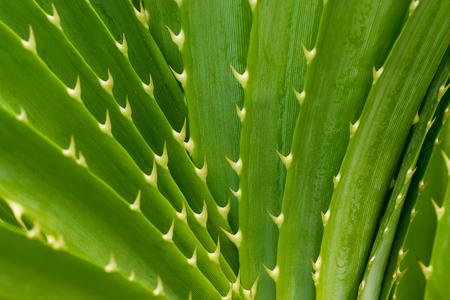 Close up Green leaves of Seashore screwpine tree.