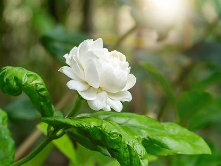Close up of jasmine flower with sunlight.
