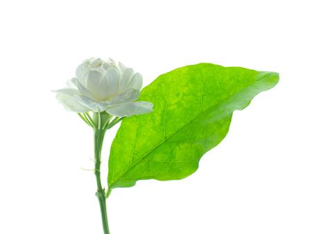 Close up of jasmine flower isolate on white background.