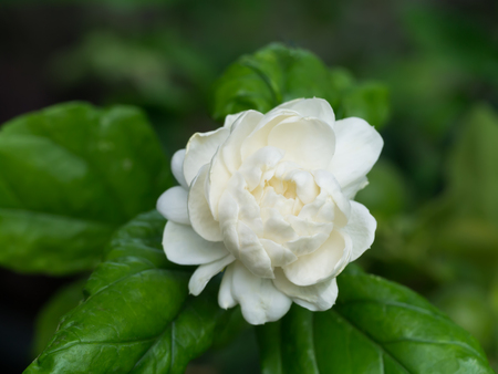 Close up of jasmine flower.
