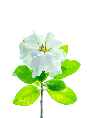 The white flower of Gardenia jasminoides with green leaves on white background.
