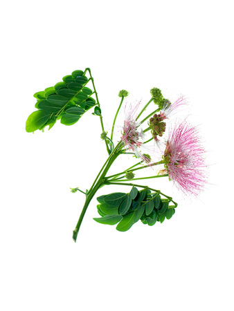 Close up flower of Rain tree or  East indian walnut (Samanea saman) plant on white background.