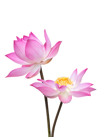 Close up pink lotus flower (Nelumbo nucifera) on white background with clipping path.