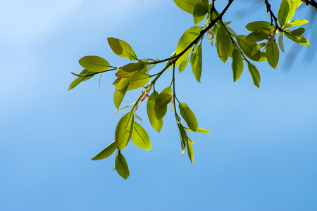 New Banyan leaves on branch with blue sky.