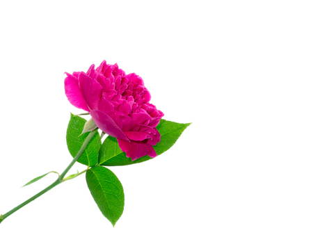 Close up Dark pink of Damask Rose flower with leaf (Rosa damascena) on white background 版權商用圖片