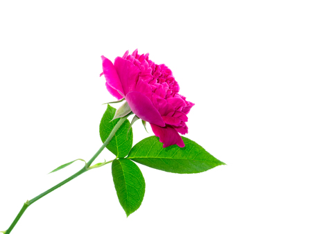 Close up Dark pink of Damask Rose flower with leaf (Rosa damascena) on white background