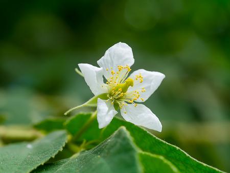Close up of Jamaican cherry flower. (Muntingia calabura)