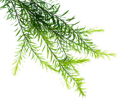Melaleuca bracteata leaves on white background