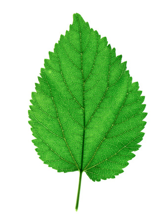 Close up Mulberry leaf on white background.