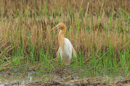 Cattle egret bird is Change the color of the coat in the breeding season. (Bubulcus ibis)