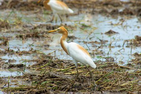 Cattle egret bird closeup photo 版權商用圖片