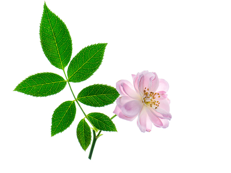 Close up pink of Damask Rose flower with leaves on white background. (Rosa damascena)