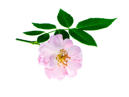 Close up pink of Damask Rose flower with leaves on white background. (Rosa damascena)