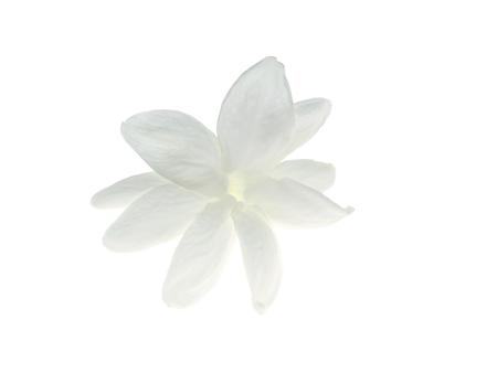 Close up of white jasmine flower isolate on white background.
