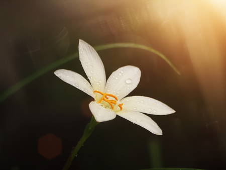 Beautiful rain lily flower (Zephyranthes Lily) in dark background with sunlight and soft flare Stock Photo